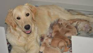Chessie Nov 2016 puppies